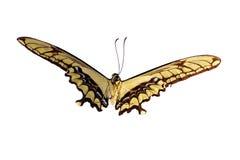 巨型swallowtail 库存照片