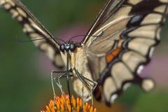 巨型swallowtail 库存图片