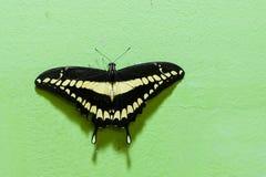 巨型swallowtail 免版税库存照片
