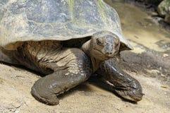 巨型tortois 库存照片