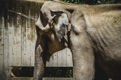 巨大和强有力的非洲大象 免版税库存照片