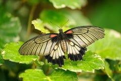 巨大摩门教在绿色leafes的机智开放翼 美丽的特写镜头蝴蝶 图库摄影
