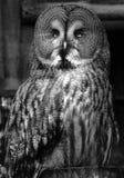 巨大灰色猫头鹰坐有转向右边的头的篱芭岗位 免版税库存照片