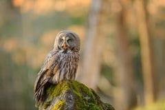 巨大灰色猫头鹰坐生苔石头 库存图片
