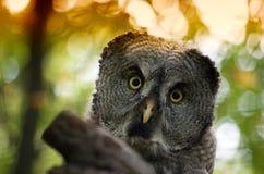 巨大灰色猫头鹰猫头鹰类nebulosa 库存照片