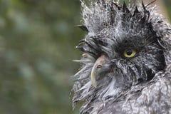 巨大灰色猫头鹰画象,关闭  免版税库存照片