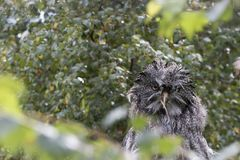 巨大灰色猫头鹰画象,关闭  图库摄影