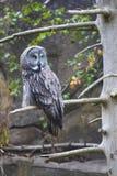 巨大灰色猫头鹰画象  库存图片