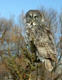巨大灰色猫头鹰结构树 库存图片