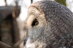 巨大灰色猫头鹰配置文件 免版税库存照片