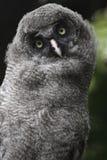 巨大灰色猫头鹰 库存图片