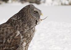 巨大灰色猫头鹰吃 免版税库存照片