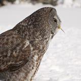 巨大灰色猫头鹰吃 免版税库存图片