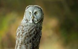 巨大灰色猫头鹰本质上 免版税库存照片