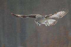 巨大灰色猫头鹰狩猎 免版税库存照片