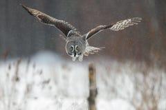 巨大灰色猫头鹰狩猎 免版税库存图片