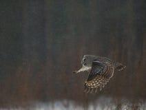 巨大灰色猫头鹰狩猎 库存图片