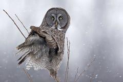 巨大灰色猫头鹰,猫头鹰类nebulosa,凝视  免版税库存图片