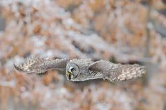巨大灰色猫头鹰,猫头鹰类nebulosa,在白色雪树的飞鸟有橙色秋天森林背景 免版税图库摄影