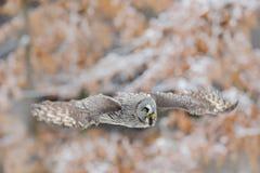 巨大灰色猫头鹰,猫头鹰类nebulosa,在白色雪树的飞鸟有橙色秋天森林背景 库存图片