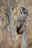 巨大灰色猫头鹰,猫头鹰类nebulosa,在maadow的鸟狩猎 猫头鹰坐与草,与黄色眼睛的画象的老树干 A 图库摄影