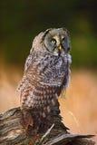 巨大灰色猫头鹰,猫头鹰类nebulosa,坐与草的老树干,与黄色眼睛的画象 库存照片