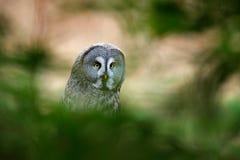 巨大灰色猫头鹰,猫头鹰类nebulosa,鸟在森林猫头鹰hiden坐与草,与黄色眼睛的画象的老树干 美洲黑杜鹃 免版税库存照片