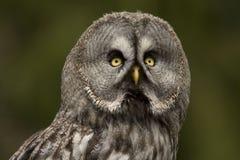 巨大灰色猫头鹰 库存照片