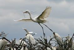 巨大白色白鹭飞行用棍子 库存图片
