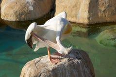 巨大白色鹈鹕身分纵向  免版税图库摄影