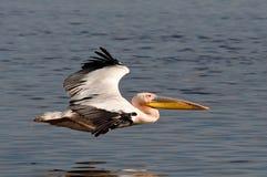 巨大白色鹈鹕飞行 免版税库存图片