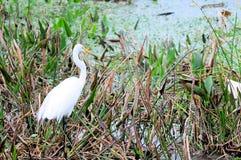 巨大白鹭捕鱼在沼泽地 免版税库存照片
