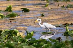 巨大白鹭渔在沼泽 免版税图库摄影