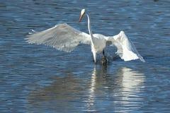 巨大白鹭着陆在水中 库存照片