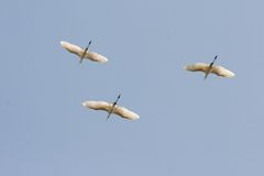 巨大白鹭飞行。 免版税库存图片