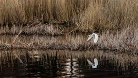 巨大白鹭` s飞行到一个新的位置 图库摄影