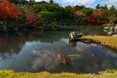 巨大的五颜六色的鱼游泳在秋天期间的一个美丽的日本池塘 库存图片