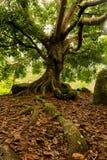 巨大的分支的树 库存照片