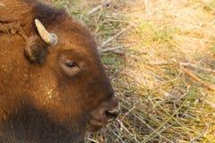 巨大的北美野牛横跨领域走并且吃分支和草被拍摄在俄罗斯的北部 免版税库存照片