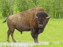 巨大的北美野牛 免版税库存图片