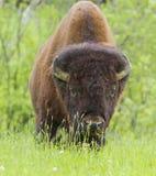巨大的北美野牛 库存图片