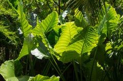 巨大的叶子在泰国 图库摄影