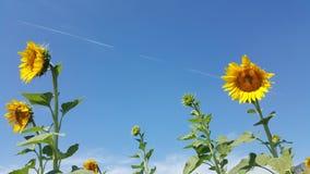 巨大的向日葵在泰国09 库存照片