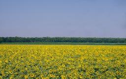 巨大的向日葵的领域 图库摄影