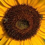 巨大的向日葵 免版税图库摄影