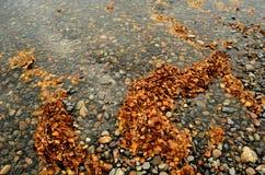 巨大的堆在河小河的黄色和棕色桦树叶子 免版税库存照片