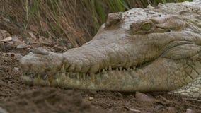 巨大的奥里诺科河鳄鱼,卡萨纳雷,哥伦比亚头  股票视频