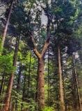 巨大的杉树 免版税图库摄影