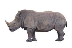 巨大的查出的犀牛 免版税库存图片