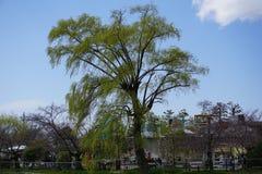 巨大的柳树在京都 库存图片